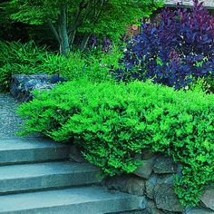 Juniper Water Wise Landscaping, Outdoor Landscaping, Outdoor Plants, Landscaping Ideas, Low Maintenance Landscaping, Low Maintenance Garden, Drought Tolerant Garden, Ground Cover Plants, Trees And Shrubs