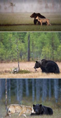 In the wilderness of Northern Finland a male bear & female wolf strike up an unlikely friendship, each evening after a day's hunting the pair can be seen sharing dinner; from they stay together -Lassi Rautiainen Black Bear, Brown Bear, Beautiful Creatures, Animals Beautiful, Unlikely Animal Friends, Nature Sauvage, Rare Animals, Wild Animals, Forests