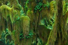 Lush tassels of moss hang from Maple trees in soft light. Hoh Rainforest, Washington.