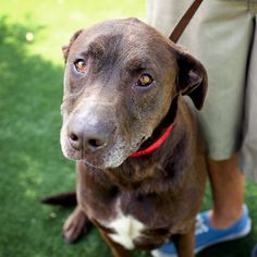 Tucker is a 6 year old Chocolate Lab who's ready to be someone's loyal companion. If you're considering adoption please consider an adult dog. With age comes wisdom! www.karmarescue.org
