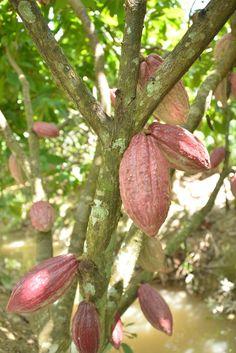 Cacao Fruit, Fruit Plants