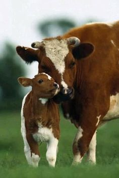 "Cow With Her Young Calf: ""Nuzzling Up!"""