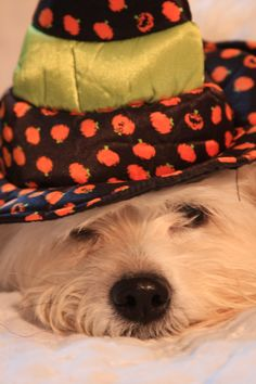 Zoey is a Lhasa Apso/Shih Tzu mix! She is the sweetest, best girl ever! In her Halloween witch hat. Halloween Witch Hat, Shih Tzu Mix, Lhasa Apso, Cool Girl, Honey, Autumn, Hats, Fall Season, Hat