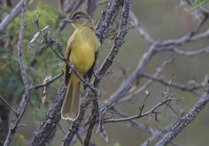 Yellow-bellied Greenbul, Geelborswillie, (Chlorocichla flaviventris) http://birdwatcher.co.za/yellow-bellied-greenbul-geelborswillie-chlorocichla-flaviventris-2/ #BirdwatcherSA #birdingsouthafrica #birdingphoto #birdingphotos #birdssouthafrica #birdsofsouthafrica