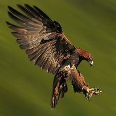 GOLDEN EAGLE landing by Ronald Coulter