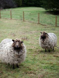 to be a sheep herder in Scotland Alpacas, Beautiful Creatures, Animals Beautiful, Farm Animals, Cute Animals, Wooly Bully, Baa Baa Black Sheep, Sheep And Lamb, Sheep Farm