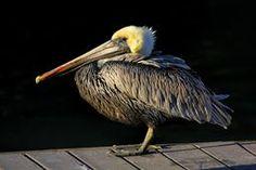 Lovely Florida light: Dockmaster https://crated.com/art/141595/dockmaster-by-hhphotographyvia @getcrated #brownpelican #pelican #birdart #birding via @hhphotography3 @hh_images947