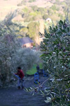 Our olives are harvested early, just as they turn from green to purple, when they're antioxidant and flavor are at their peak.