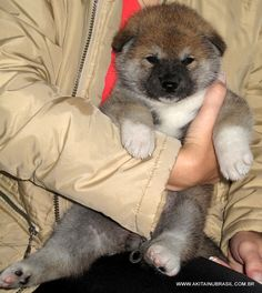 Akita inu puppies, akita filhote de cor vermelha, de: http://www.akitainubrasil.com.br