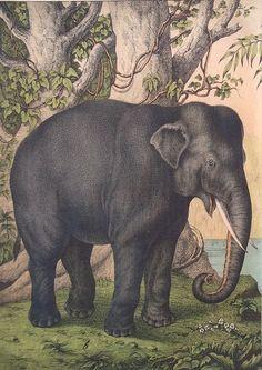 Antique print 1880 The Elephant