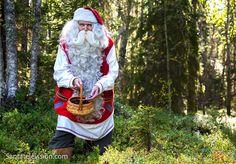 Papai Noel colhendo mirtilios numa floresta da Lapônia na Finlândia