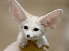 fennce fox wallpapers | Description: The Wallpaper above is Fennec fox Wallpaper in Resolution ...