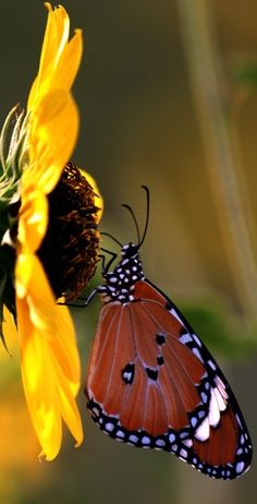 The sunflower and a butterfly - South Delhi Beautiful Bugs, Beautiful Butterflies, Beautiful World, Beautiful Flowers, Butterfly Kisses, Butterfly Flowers, Monarch Butterfly, Flying Flowers, Butterfly Pictures