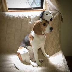 Beagle with Snoopy! :)
