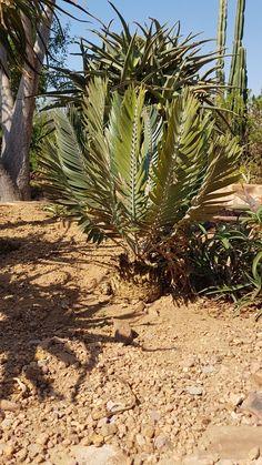 E.heenanii  Derik cycad garden  Oct 2018 Hardy Plants, Planting Succulents, Palm Trees, Tropical, Gardens, Agaves, Palm Plants, Tuin, Garden