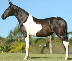 Campolina stallion, Mensagem da Barraca. The gaited Campolina of Brazil originated as most South American breeds did, from Iberian and Barb stock. But adding in a number of tall breeds of non-Spanish lineage and very different morphology has made the Campolina the largest Brazilian breed with a unique look. Its large, trapezoid-shaped head and long ears are unmistakeable. Various shades of dun and pinto are the most common colors.