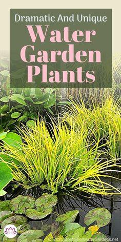 Find all the best aquatic plants for your pond or water feature. From plants that float on the surface to lotus and horsetail rush, we will cover all the best choices. Water Garden Plants, Container Water Gardens, Container Plants, Small Ponds, Aquatic Plants, Water Features, Herbs, Lotus, Choices