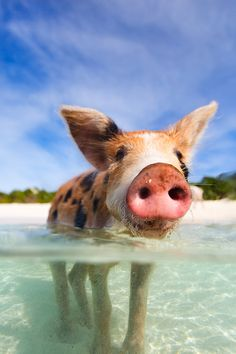 Tick this off your bucket list: Swimming with the pigs at #Sandals #EmeraldBay, in The Bahamas