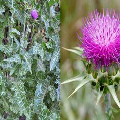 11 plante medicinale pentru un ficat sanatos - Infuzie de Sănătate Medical, Health, Plants, Health Care, Medicine, Plant, Med School, Planets, Active Ingredient