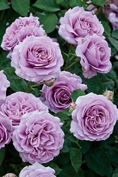 Love Song Rose Plant Potted - Fragrant Lavender Purple Flowers - Own Root Live R. Love Song Rose P Amazing Flowers, Beautiful Roses, Beautiful Flowers, Purple Flowers, Colorful Flowers, Landscaping With Roses, Spring Hill Nursery, Shrub Roses, Floribunda Roses