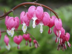 Bleeding Heart Bush.  Planting this in my landscaping in honor of my Brother and Dad