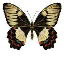 Image result for butterfly scientific illustration