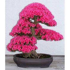 Erguvan Bonsai Ağacı ::Göze hoş görünmesi için çeşitli metotlarla fazla büyümesi engellenmiş ağaç Bu çeşit ağaç büyütme sanatı.