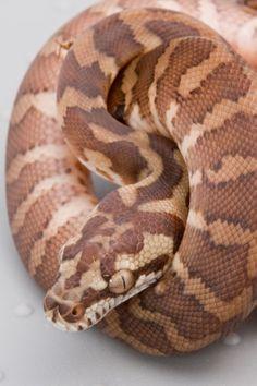 Morelia spilota (Carpet Python) - Irian Jaya