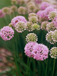 Allium Deer-resistant, summer-blooming bulbs show off purple globelike blossoms. Look for late-blooming varieties such as Allium Millennium (shown) and Allium tuberosum. Zones: 4-9 Size: 18-36 inches tall; 12-18 inches wide.