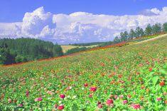 Flower field of Hokkaido in summer stock photo