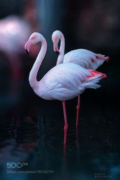 Zoo Flamingo by jsadikster #animals #animal #pet #pets #animales #animallovers #photooftheday #amazing #picoftheday