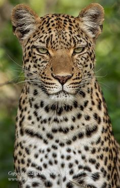 "The Queen of Mombo by Alex Kirichko on 500px   Legadema, the star of the documentary ""Eye of the Leopard"", Moremi Game Reserve, Botswana."