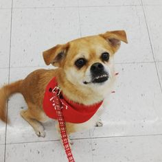 Look at this face!Why is Peaches( our Pug Chi mix) still looking for a forever home? She is friendly, walks well on leash, healthy, & a real joy to be around. Check out her million dollar Pug smile! You could be Peaches forever home❤️please call 559-261-5746 or elderpawsrescue.org Located in Fresno,CA