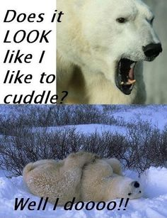 I guess all the angry polar bears just really want to cuddle haha.
