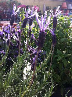 Lavender for my garden.