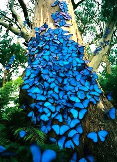 """Blue Morpho butterflies. """"The genetic code that is responsible for the wings of a butterfly is also *the same gene code* for the beating of the human heart. [...] It seems like Nature discovered this information 300 million years ago and then She said to herself, 'I am going to store it and then one day I will use it for the human heart because that is where longing is, our deepest yearnings are, where love is, compassion is.'"""" ~Deepak Chopra"""
