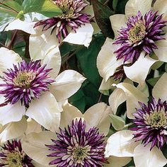 Passion Flower Clematis. I have one of these, but it only blooms in the spring. It's in the shade though.