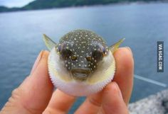 Just in case you've never seen a baby puffer fish before