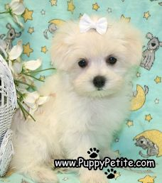 NYC Puppy - Maltese for sale