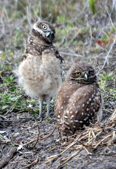 Juvenile Cape Coral Burrowing Owls by Cape Coral Burrowing Owls, via Flickr