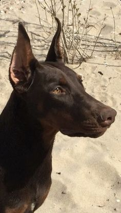 The Doberman Pinscher is among the most popular breed of dogs in the world. Known for its intelligence and loyalty, the Pinscher is both a police- favorite Big Dogs, I Love Dogs, Cute Dogs, Dogs And Puppies, Corgi Puppies, Doggies, Doberman Rescue, Doberman Love, Beautiful Dogs