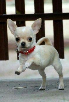 Chihuahua Dogs Very cute Chiuahua. Cute Chihuahua, Chihuahua Puppies, Baby Puppies, Cute Puppies, Dogs And Puppies, Chihuahua Quotes, Teacup Chihuahua, Puppy Care, Little Dogs
