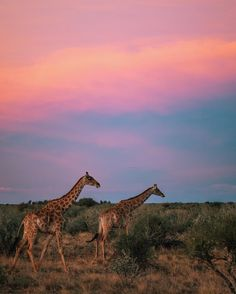 We watched in awe as these Giraffe gracefully made their way across the Kalahari desert at dusk. Pink hues surrounded us and we welcomed the cooler temperature. Beautiful Scenery Pictures, Desert Tour, Biomes, Dusk, Places To Go, National Parks, Wildlife, Explore, Adventure