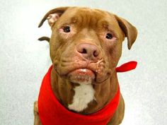 TO BE DESTROYED - 09/13/14 Manhattan Center - P  My name is VIBES. My Animal ID # is A1012721. I am a neutered male brown and white pit bull mix. The shelter thinks I am about 8 YEARS old.  I came in the shelter as a SEIZED on 09/02/2014 from NY 11369, owner surrender reason stated was STRAY. I came in with Group/Litter#K14-192752. https://m.facebook.com/photo.php?fbid=868334316512782&id=152876678058553&set=a.611290788883804.1073741851.152876678058553&source=46&ref=bookmark