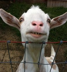 """Son a) called baby son b) a goat """"he look a - like-a goat!"""""""