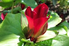 Beautiful Wake Robin (Trillium) blooming at Far Reaches Farm in Washington state. Photographed by Garden Mentors®