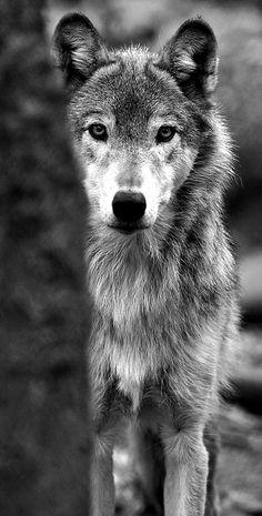 Wolf, ulv, cute, nuttet, beautiful, furry, fluffy, alert, proud, wild, photo b/w.