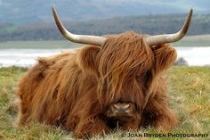 highland cattle images free - Google Search