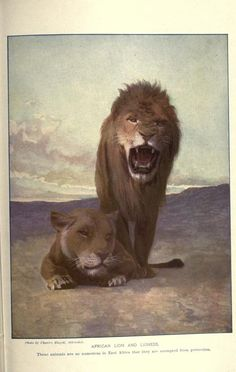 African lions, The People's Natural History, Vol I, Mammals, The University Society, 1903.