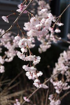 Spring-blooming trees
